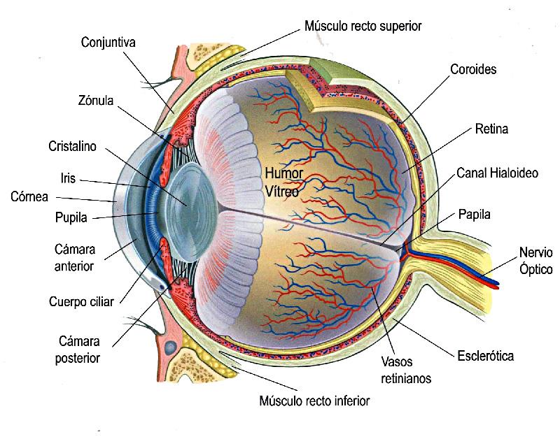 Anatomía básica del ojo humano